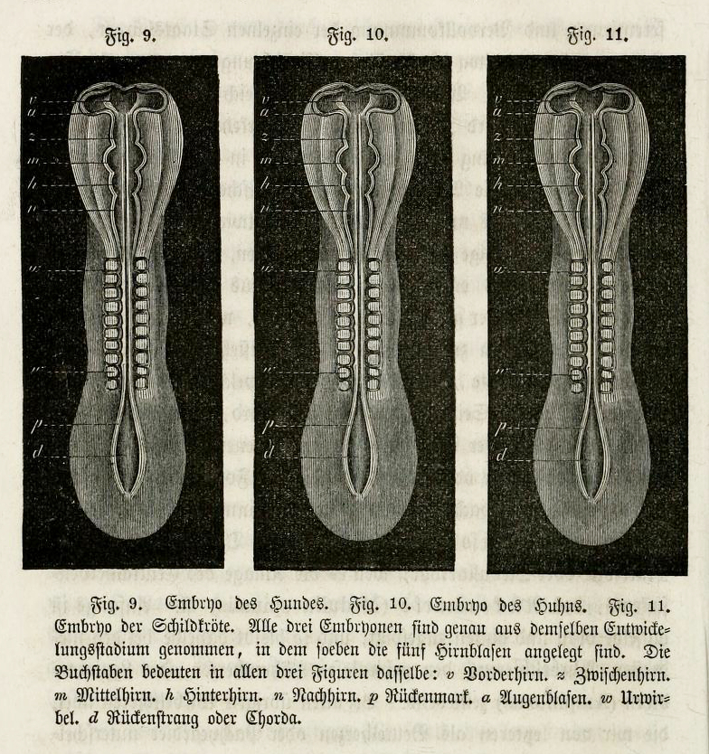 Wood engravings of dog, chick, and turtle embryos printed from the same block in Haeckel's Natürliche Schöpfungsgeschichte (1868).