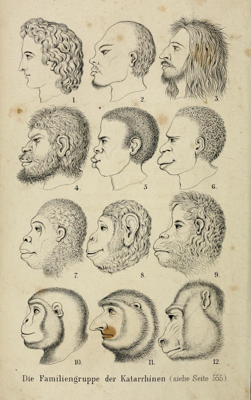 The notorious frontispiece comparing heads of human races and apes in the Natürliche Schöpfungsgeschichte (1868), Haeckel's gospel of evolution.